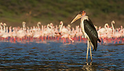Marabou stork in front of a group of Greater Flamingos at the shores of Lake Bogoria, Kenya.