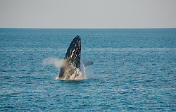 A humpback whale exhales as it breaches near Hall Point on the Kimberley coast.