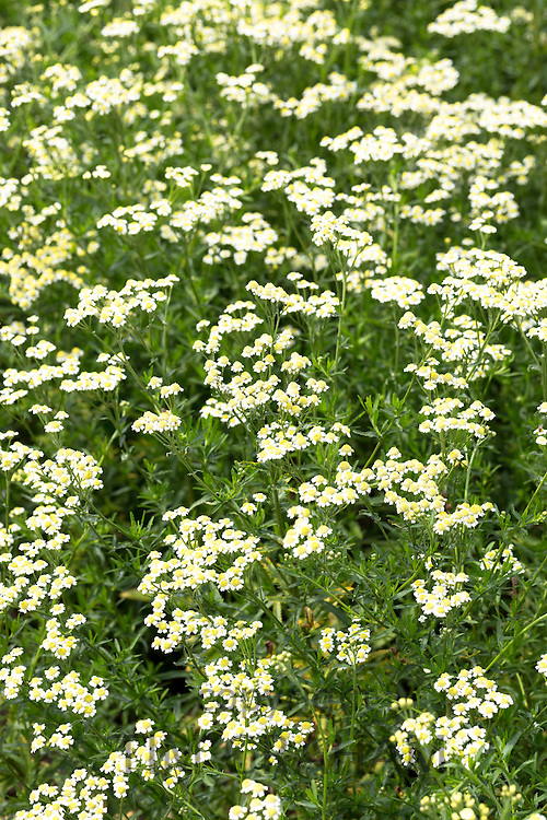 English mace, Achillea ageratum, in organic vegetable and herb garden in Oxfordshire UK
