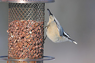 Red Breasted Nuthatch retrieving a piece of peanut from a bird feeder in upstate NY.