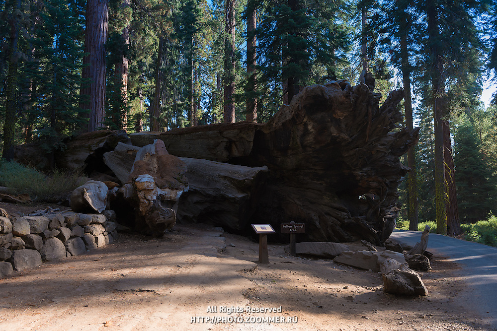 Fallen Tunnel Tree in Yosemite National Park's Mariposa Grove, California