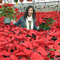 Mai Mai picks out some poinsettias at her family owned nursery called Joseph's in Pearland.
