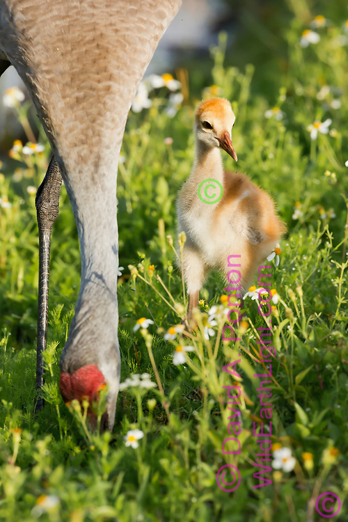 Sandhill crane colt waits near adult that is foraging in the soil in a lush green meadow in a wetland, © David A. Ponton