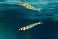 Golden Silverside<br /> <br /> Isaac Szabo/Engbretson Underwater Photography
