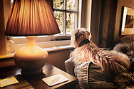 A shaggy dog sitting on a sofa waiting for its owner looking out of a window beside a lampshade