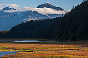 A pair of trumpeter swans swim in the Potter Creek marsh with the Chugach Mountains behind outside Anchorage, Alaska. Trumpeter swans are the largest of North American waterfowl and have a wing span of 7 feet.