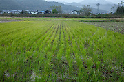 Rice paddy in Toyooka (Toyooka-shi) is a city in the northern part of Hyogo Prefecture, Japan. The city was founded on April 1, 1950.