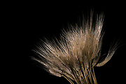 a bunch of Wheat stalks on black background