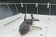 dead salmon shark, Lamna ditropis, on deck of charter fishing boat, Prince William Sound, Alaska, U.S.A.