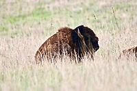 Bison at rest - Tallgrass Prairie National Preserve, Kansas