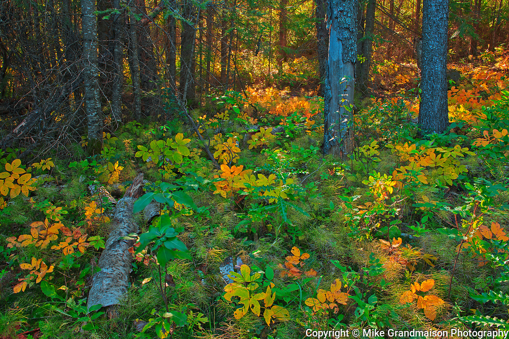 Boreal forest along the Spray Lakes Trail<br />Duck Mountain Provincial Park<br />Manitoba<br />Canada