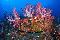 Thriving colonies of soft coral, Dendronepthya sp., and encrusting sponge adorn a sloping reef, surrounded by dark volcanic sand. Barren Island, Andaman Islands, India, Andaman Sea