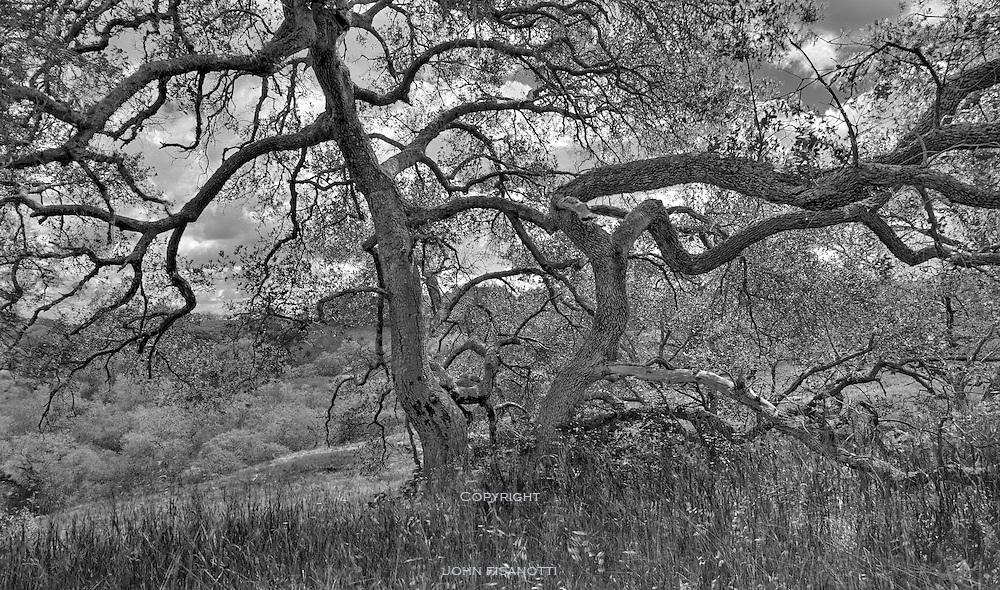 Oak tree in Santa Rosa Plateau Reserve, Riverside County, California