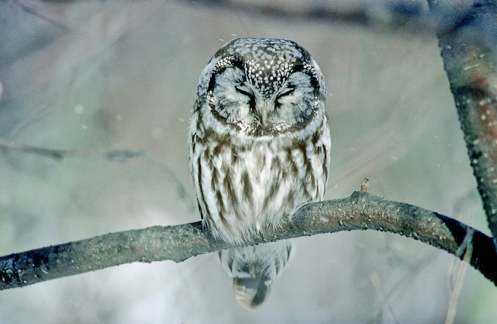 Tengmalm's Owl - Aegolius funereus