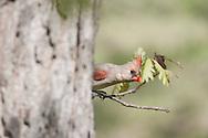 Female Northern Cardinal Behind Tree
