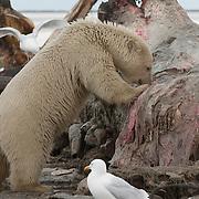 Polar bear (Ursus maritimus) and glaucous gulls (Larua hyperboreus) feeding on the carcass of a bowhead whale (Balaena mysticetus) in Alaska.