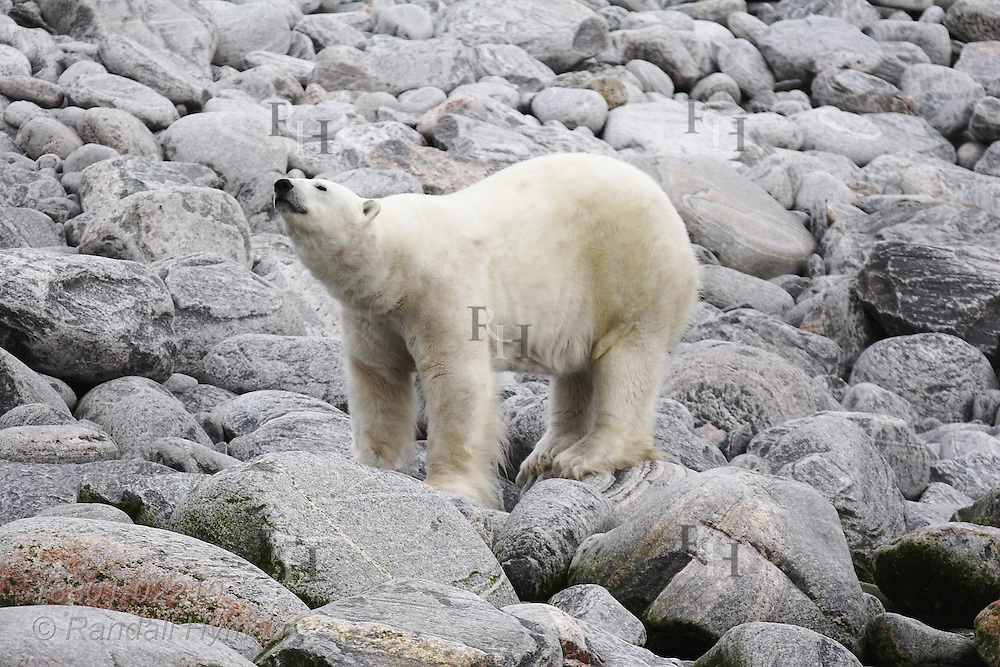 Polar bear sniffs air along boulder-strewn shore of Brevoort Harbour in early September on Baffin Island; Nunavut, Canada