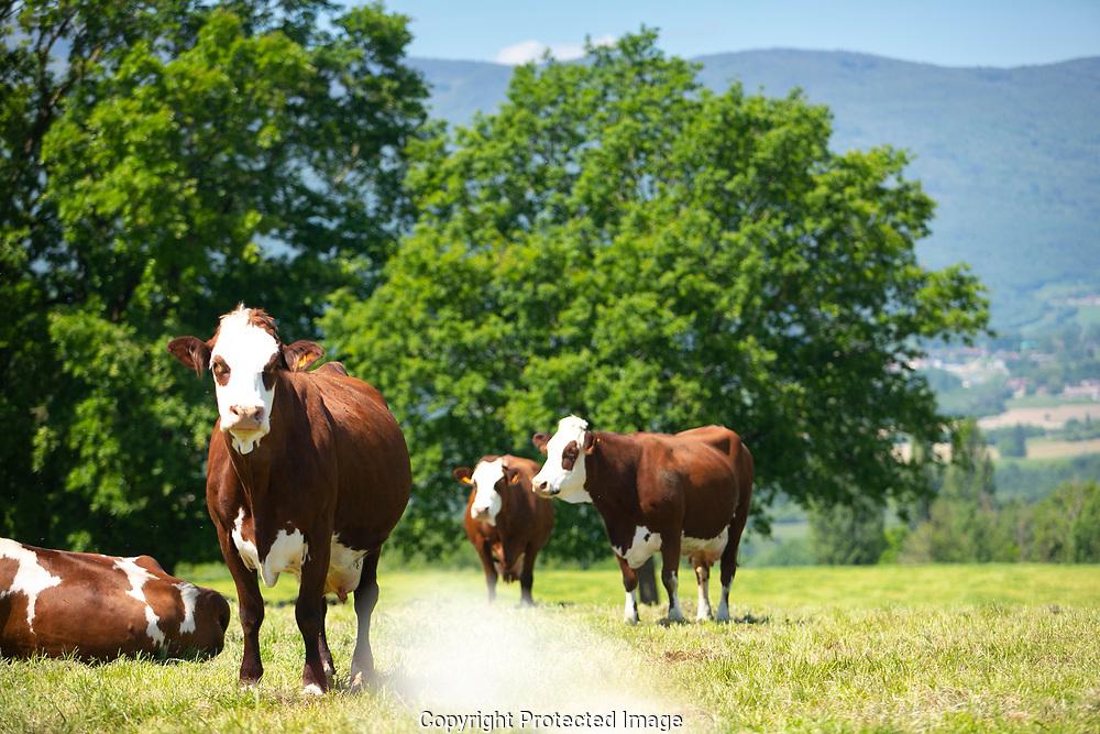 Reportage chez Bernard Griot, agriculteur, producteur de lait pour la fabrication du Gruyere Francais. Printemps 2019. Herd of cows producing milk for Gruyere cheese in France in the spring