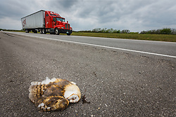 Dead barn owl on highway with tractor-trailer in motion behind it, south Texas, USA