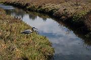 Great Blue Heron, Ballona Wetlands, Playa Del Rey, Los Angeles, California, USA