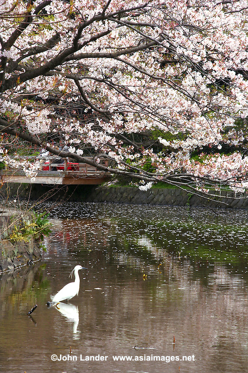Crane and cherry blossoms at Tsurugaoka Hachimangu shrine pond.  The pond at Tsurugaoka Hachimangu Shrine is the one of the most famous spots in Kamakura for sakura views after Wakamiyaoji Path, which leads to the shrine itself.