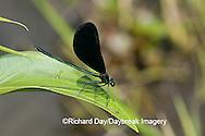 06014-001.07 Ebony Jewelwing (Calopteryx maculata) male, Lawrence Co. IL