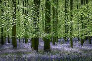 Bluebells, Hertfordshire