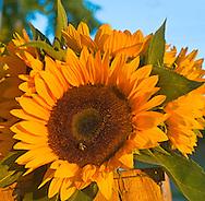 Sunflowers, Hayground Market, Water MIll, New York, Long Island