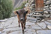 Asia, Nepal, A close up of a calf in a village