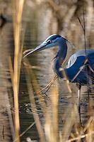 Great Blue Heron, Blackwater National Wildlife Refuge, Cambridge, Maryland.