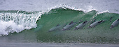 Surfing Dolphins (Hector's Dolphin) in Curio Bay Photos Pictures