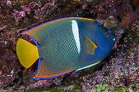 King Angelfish<br /> <br /> <br /> Shot at Cocos Island, Costa Rica