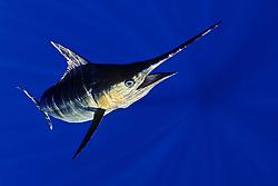 blue marlin, Makaira nigricans ( or Indo-Pacific blue marlin, Makaira mazara ), Kona Coast, Big Island, Hawaii, USA, Pacific Ocean