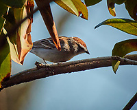 Chipping Sparrow. Image taken with a Nikon N1V3 camera and 70-300 mm VR lens.