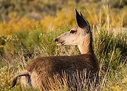 Deer. Dunes rise up to 750 feet tall in Great Sand Dunes National Park and Preserve, on the eastern edge of San Luis Valley, Sangre de Cristo Range, south-central Colorado, USA.
