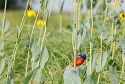 Painted bunting perched in cluster of Great coneflower s(Rudbeckia maxima Nutt.) on the Daphne Prairie, a remnant of the Blackland Prairie, Mount Vernon, Texas, USA. Check identification.