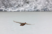 A female mallard duck (Anas platyrhynchos) flies over the frozen Scriber Lake, located in Lynnwood, Washington.