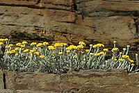 Helichrysum stoechas, Southwest Alentejo and Vicentine Coast Natural Park, Portugal