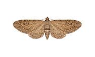 70.169 (1849)<br /> Angle-barred Pug - Eupithecia innotata