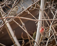 Pair of House Finches. Image taken with a Nikon D2xs camera and 80-400 mm VR lens (ISO 100, 400 mm, f/6.3, 1/160 sec).