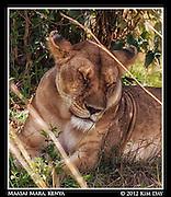 Lioness Closeup.Maasai Mara, Kenya.September 2012