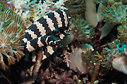 Banded Sea Snake (Laticauda colubrina) - Philippines..Banded sea snakes are most active at night, when they swim around close to shore while foraging for food, which mainly consist out of small fish and eels. They have lungs, which means they have to return to the surface to breath, which they do around every 20 minutes. They are also extremely poisonous, but have short fangs and are usually very docile, even with divers at close range.