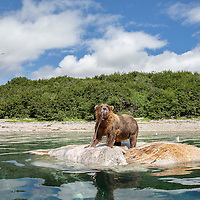 A brown bear stands atop a whale carcass to feed as it floats in Kiniak Bay at high tide, Katmai National Park