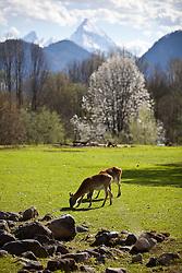 07.04.2011, Zoo, Salzburg, AUT, ZOO SALZBURG, im Bild Litschi-Wasserböcke beim Grasen //  Waterbucks pictured at Zoo Salzburg, with the Mountains in the background, Austria, 04/07/2011, EXPA Pictures © 2011, PhotoCredit: EXPA/ J. Feichter