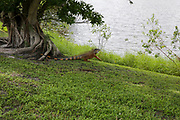Green Iguana (Iguana Iguana), Photographed at Fort Lauderdale Florida, United States of America