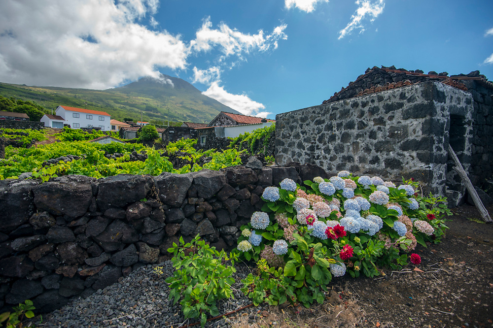 UNESCO World Heritage wine region near Criacao Velha in Pico Island, Azores, Portugal, North Atlantic Ocean. Local growers use the abundant volcano basalt rock to build walls around the grape trees to protect them from the salt and wind. The rocks also generate heat, which benefits the fruit.