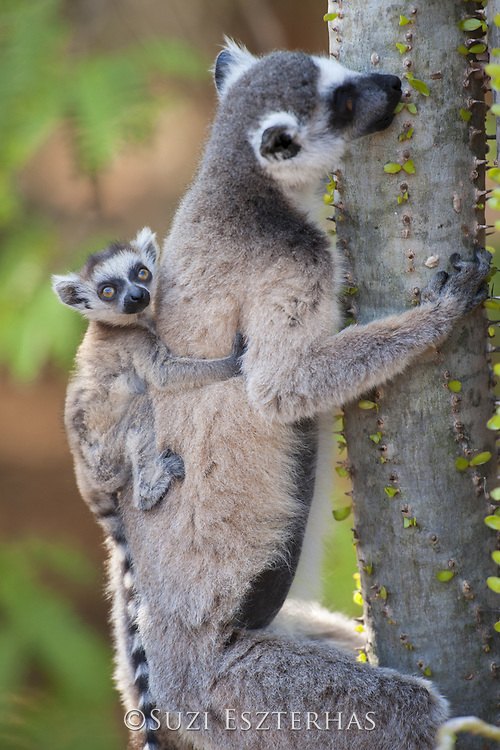 Ring-tailed Lemur<br /> Lemur catta<br /> Mother with two-week-old baby on back feeding on spiny forest tree (Alluaudia procera)<br /> Berenty Private Reserve, Madagascar