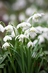 Galanthus nivalis 'Flore Pleno', double common snowdrop