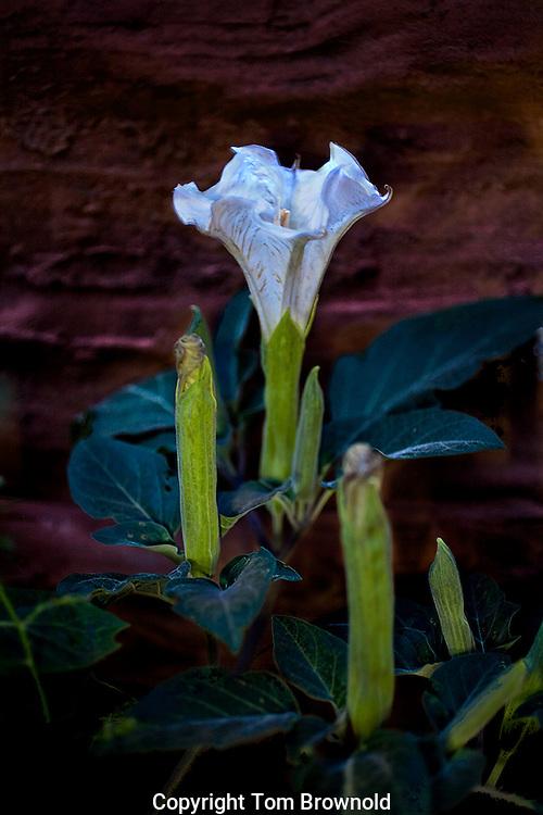 Blooming Datura