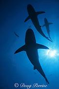 blacktip and Caribbean reef sharks, Carcharhinus limbatus, and Carcharhinus perezi, Walker's Cay, Abacos, Bahamas ( Western Atlantic Ocean )